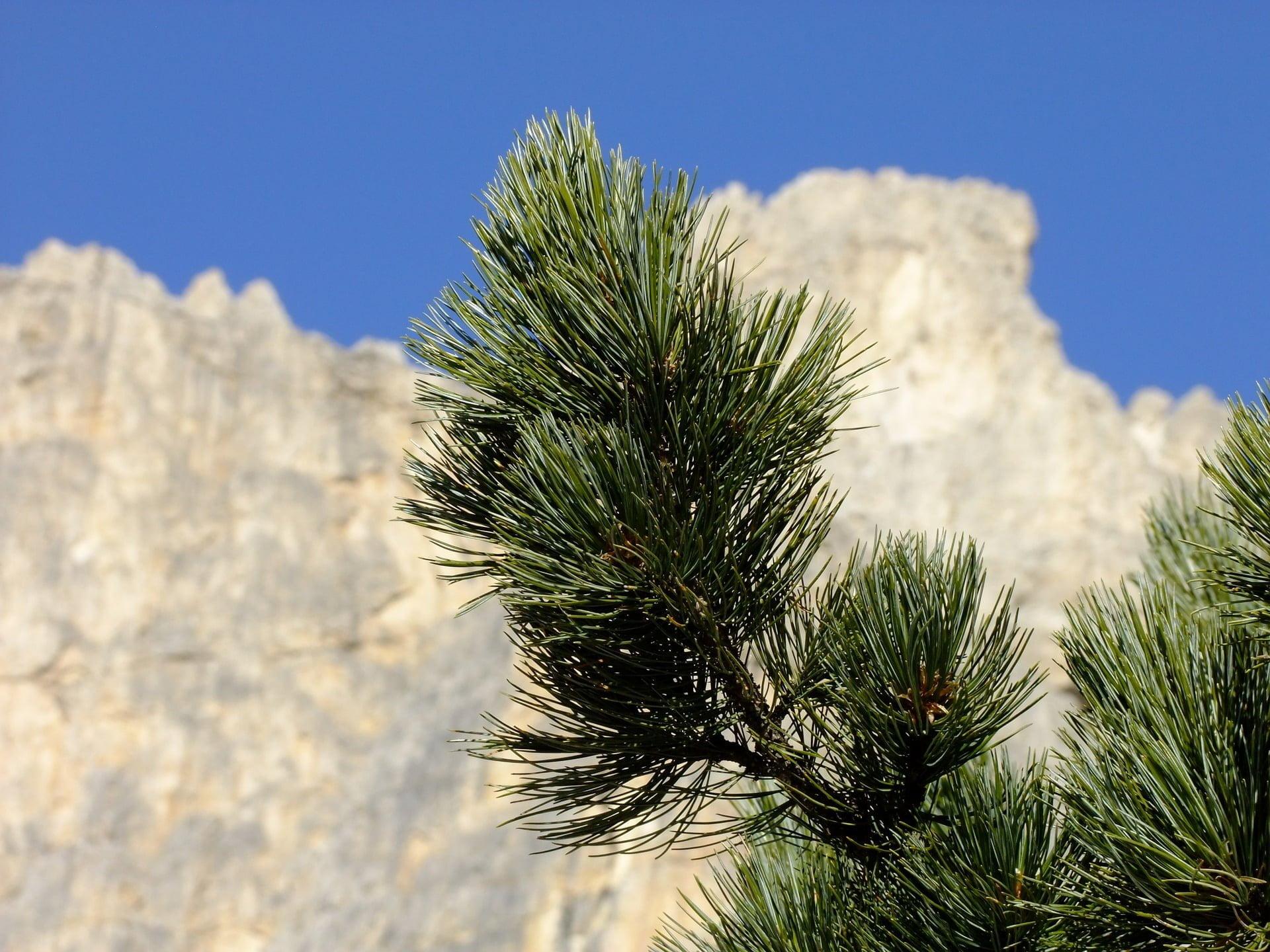 Cirmolo: proprietà, usi e benefici del pino cembro